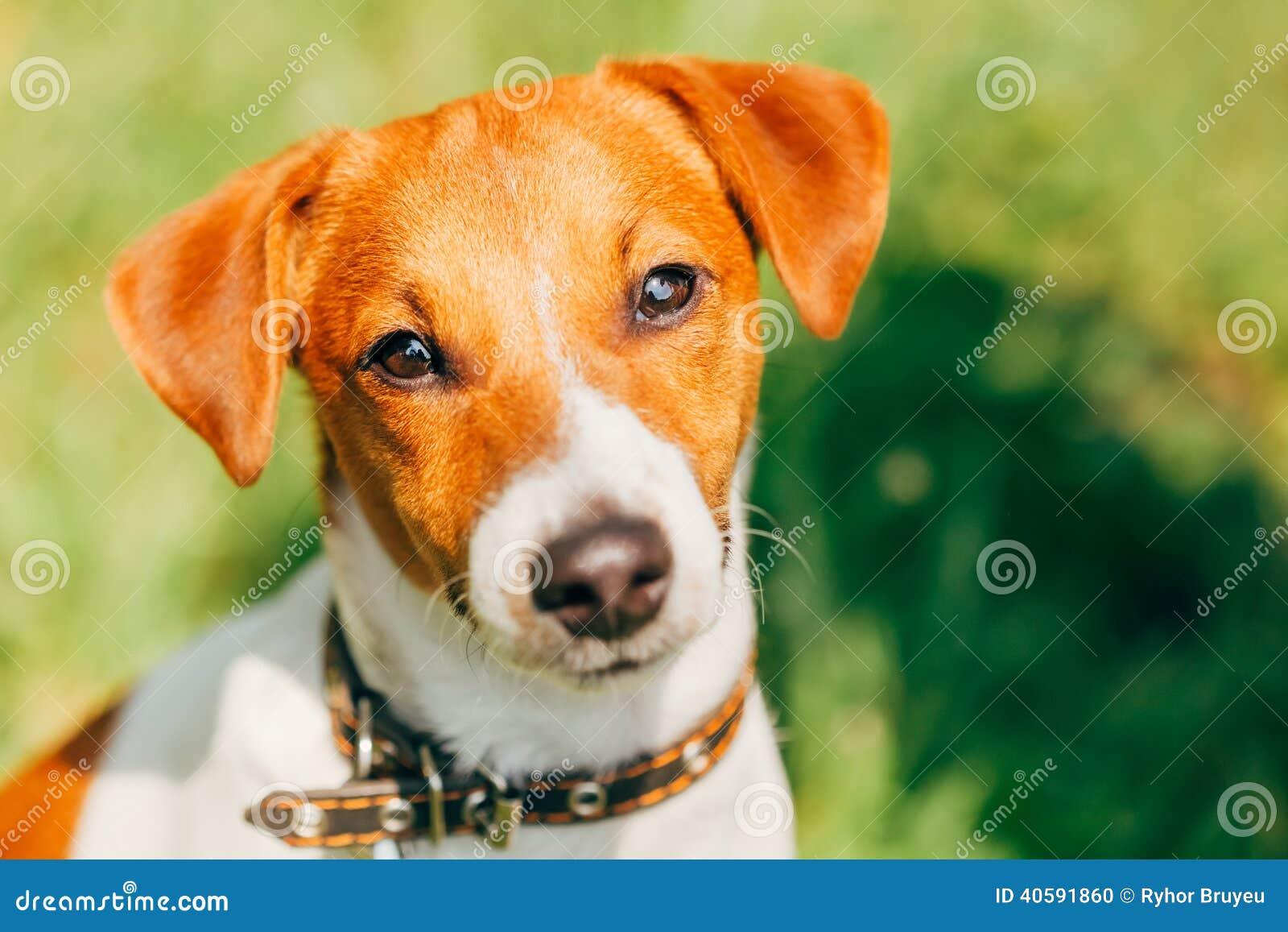 Hundesteckfassungsrussel-Terrier