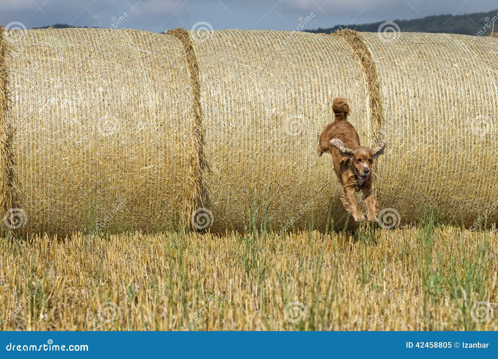 Hundewelpe cocker spaniel, das vom Weizenball springt