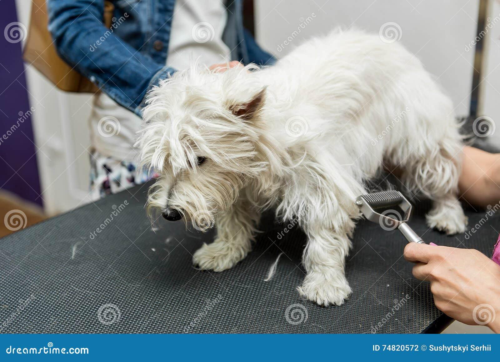 Hundewest highland white terrier-Pflegen