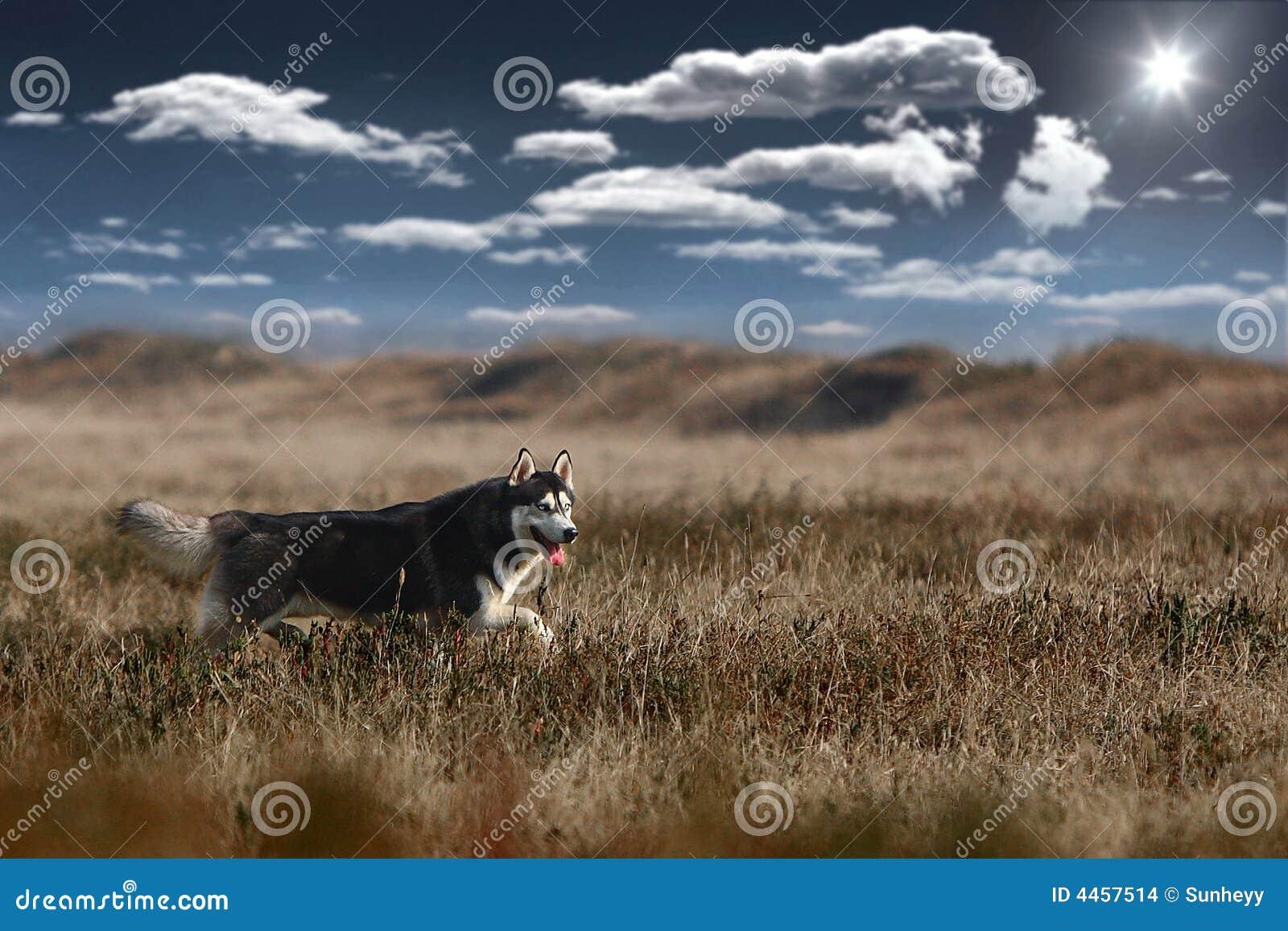 Hundhusky