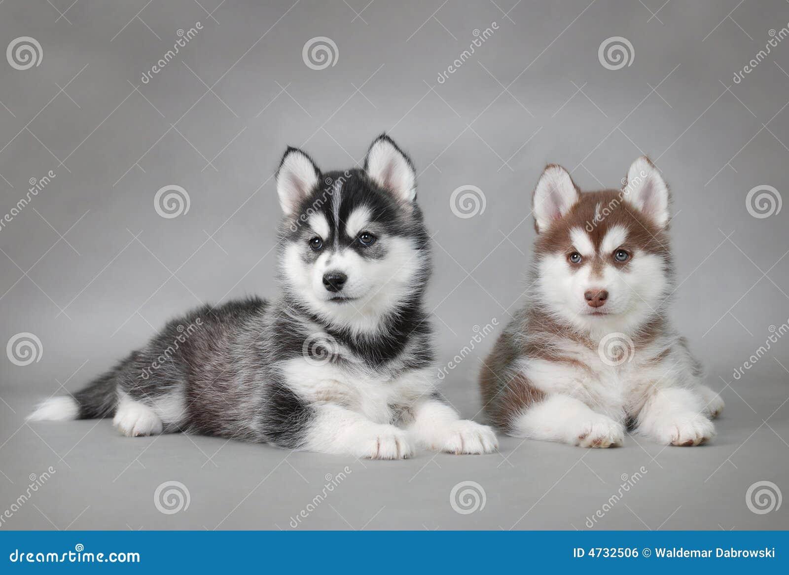 Hundhuskyvalpar