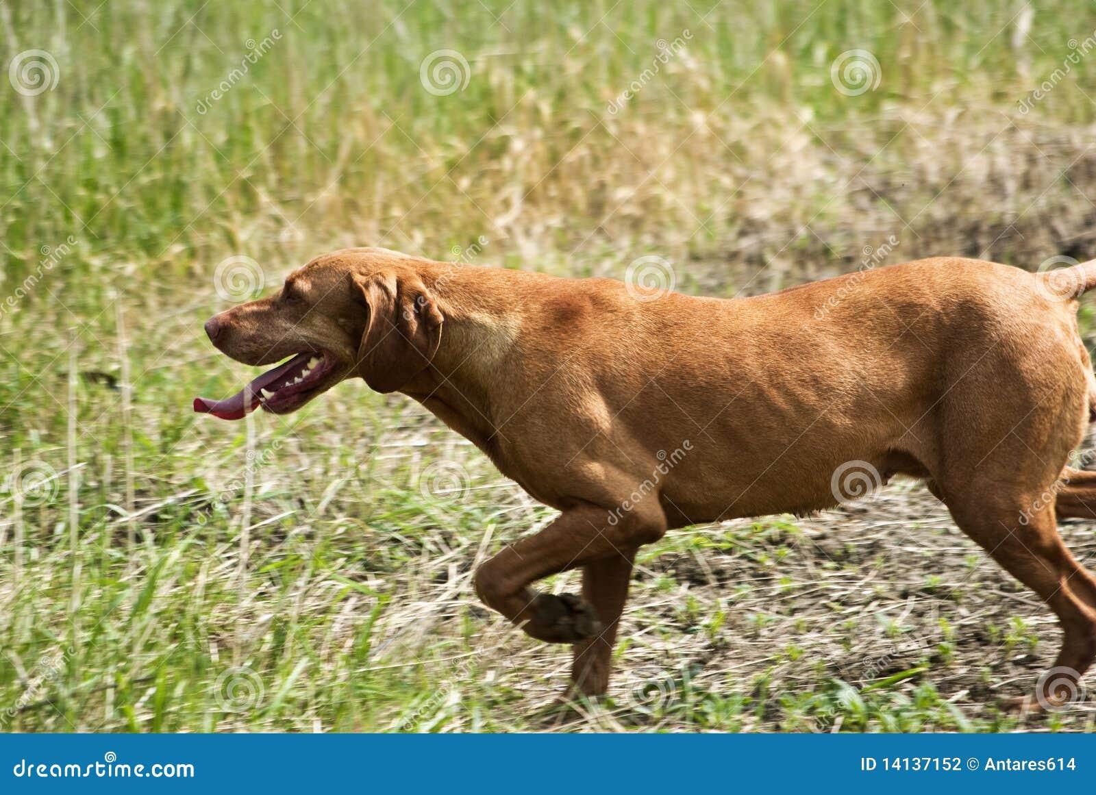 Hundjakt