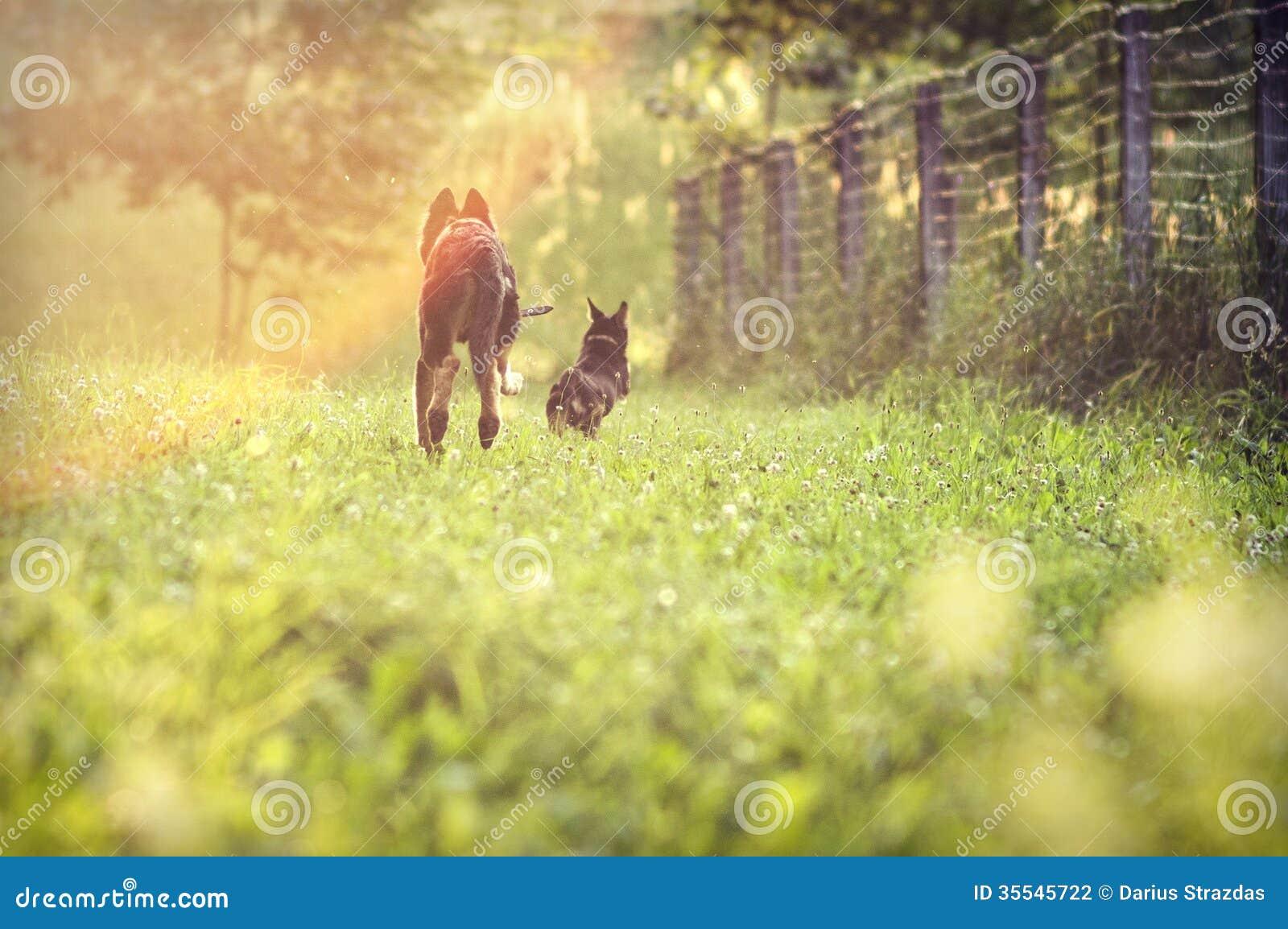 Hundkapplöpning som kör på fält