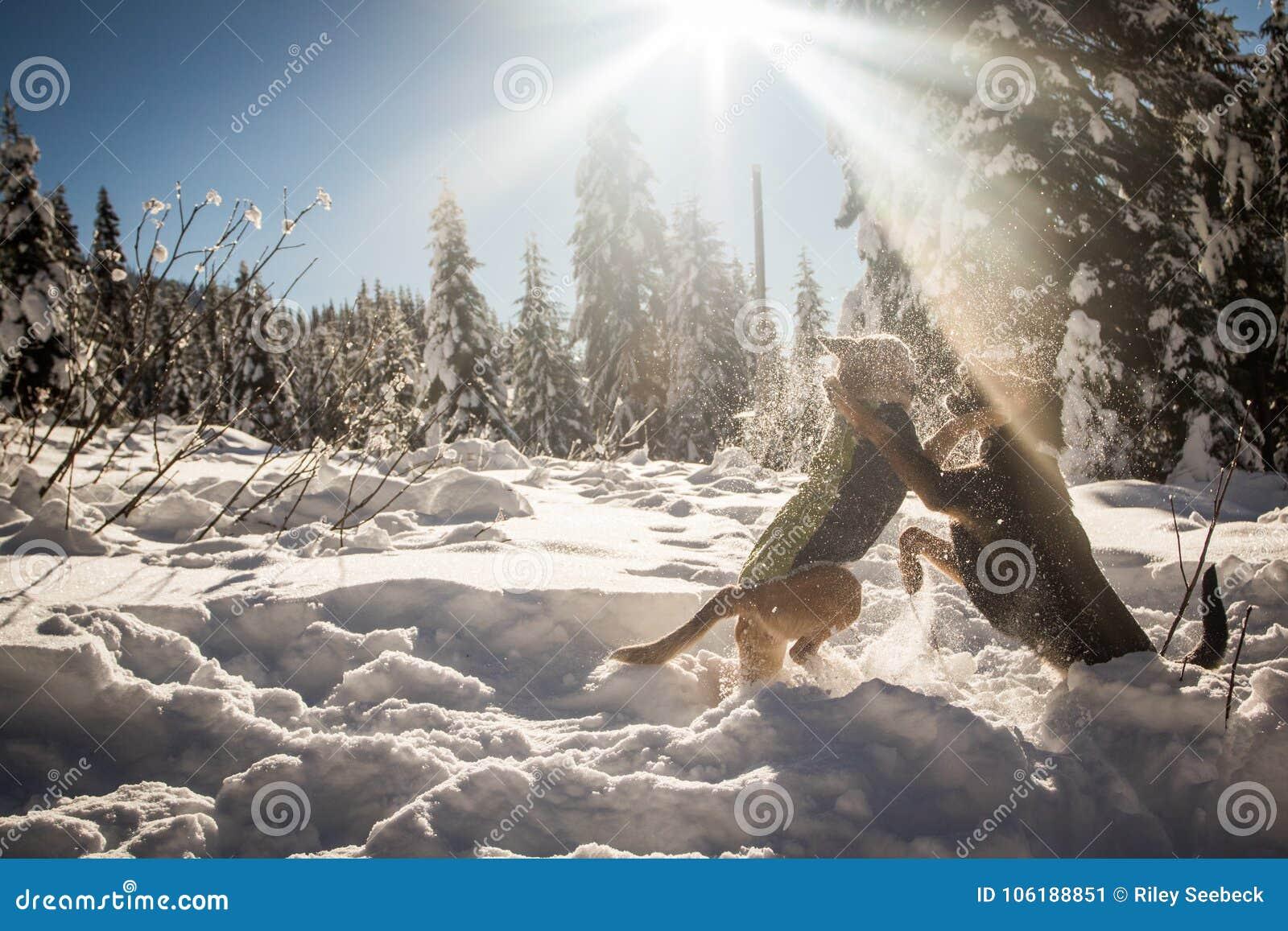 Hundkapplöpning som spelar i snö under solen