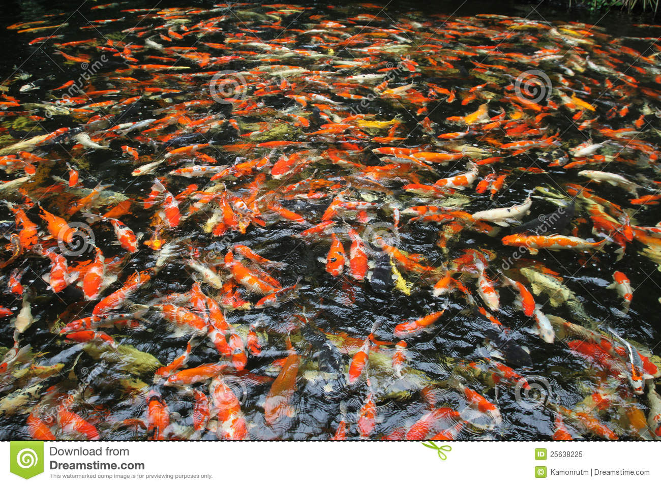 Hundreds of fancy carp koi fish in pool stock image for Koi fish swimming pool