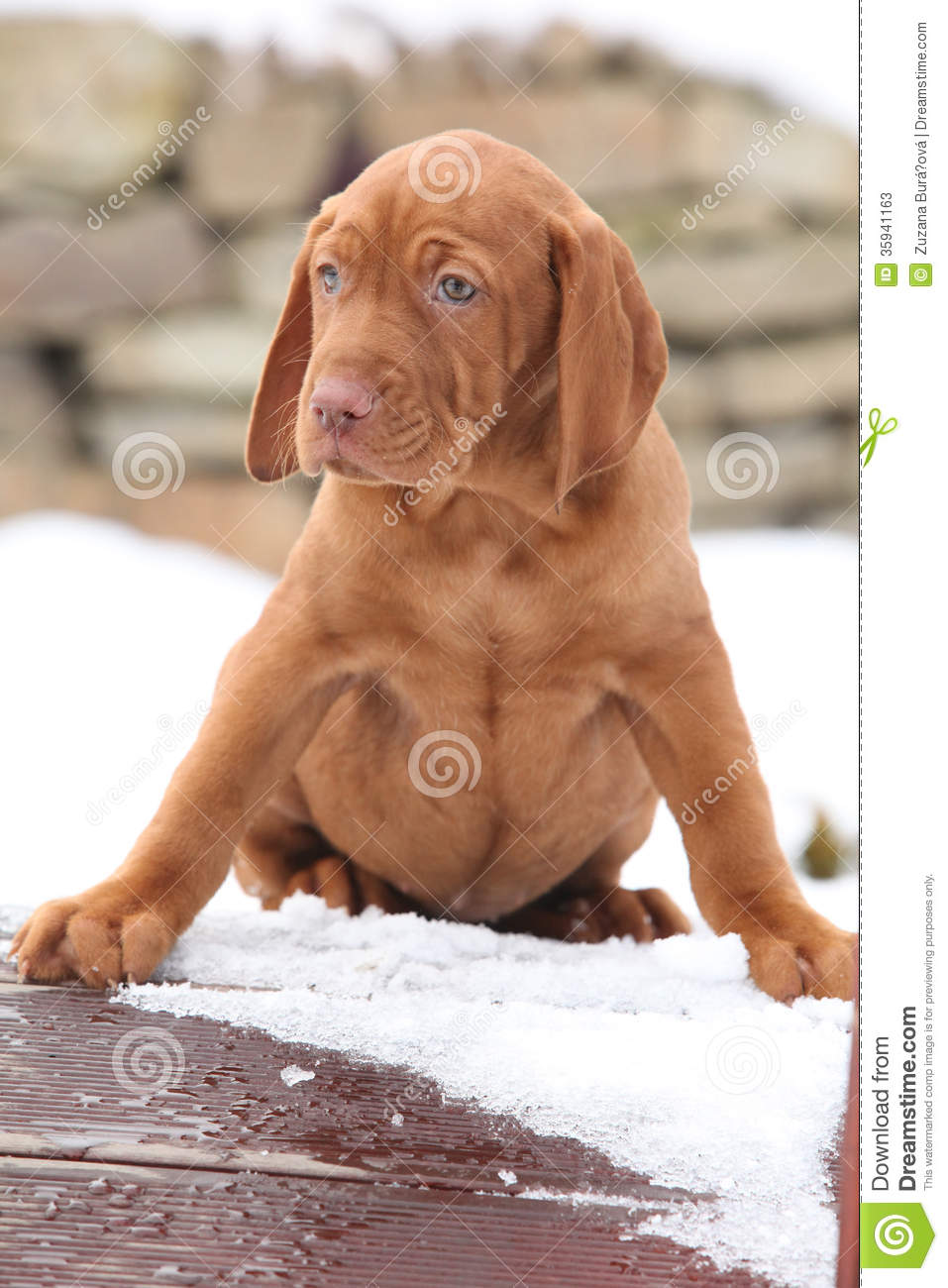 Hungarian Short Haired Pointing Dog In Winter Stock Image Image Of Drift Doggy 35941163