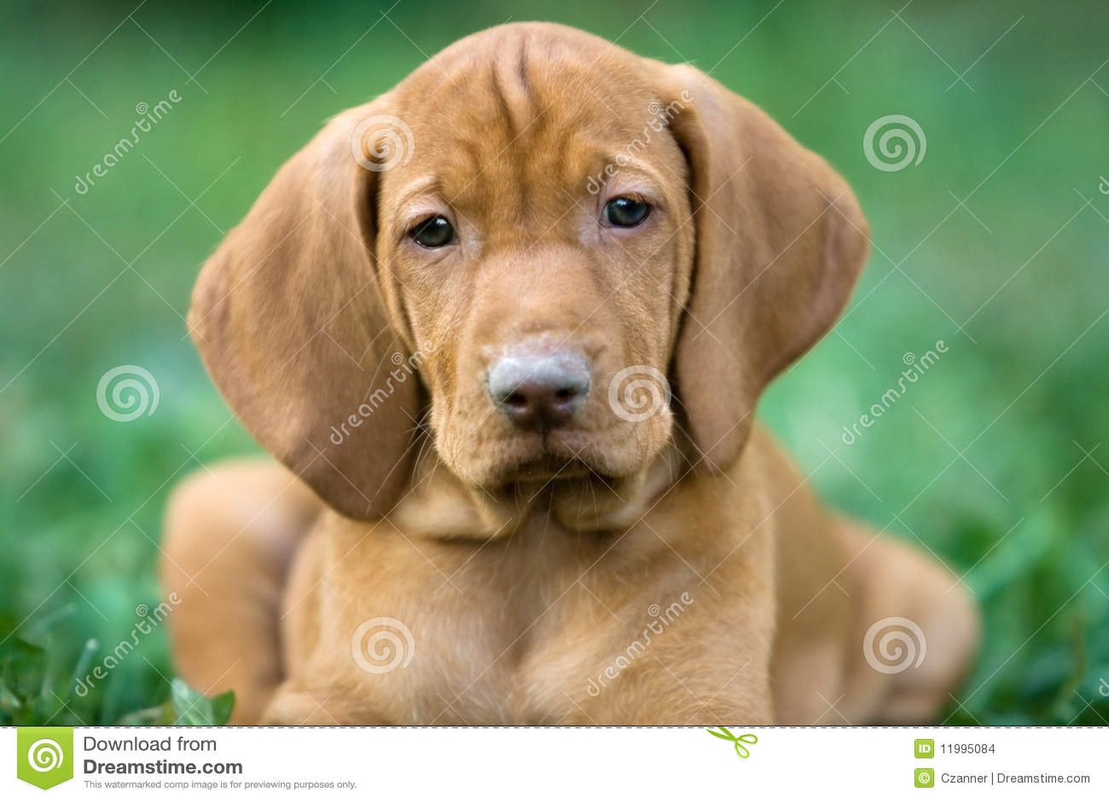 Hungarian viszla puppy stock photo image of pedigreed 11995084 hungarian viszla puppy pedigreed hungary nvjuhfo Gallery