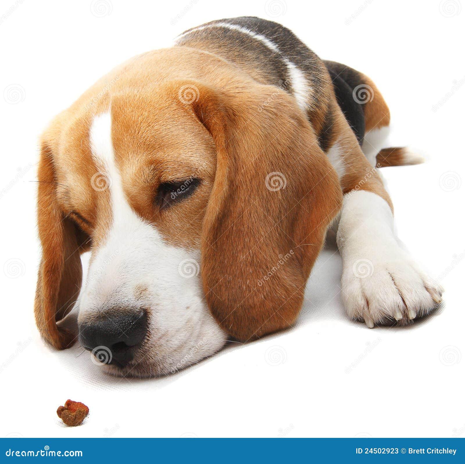 Hungrig beaglehund