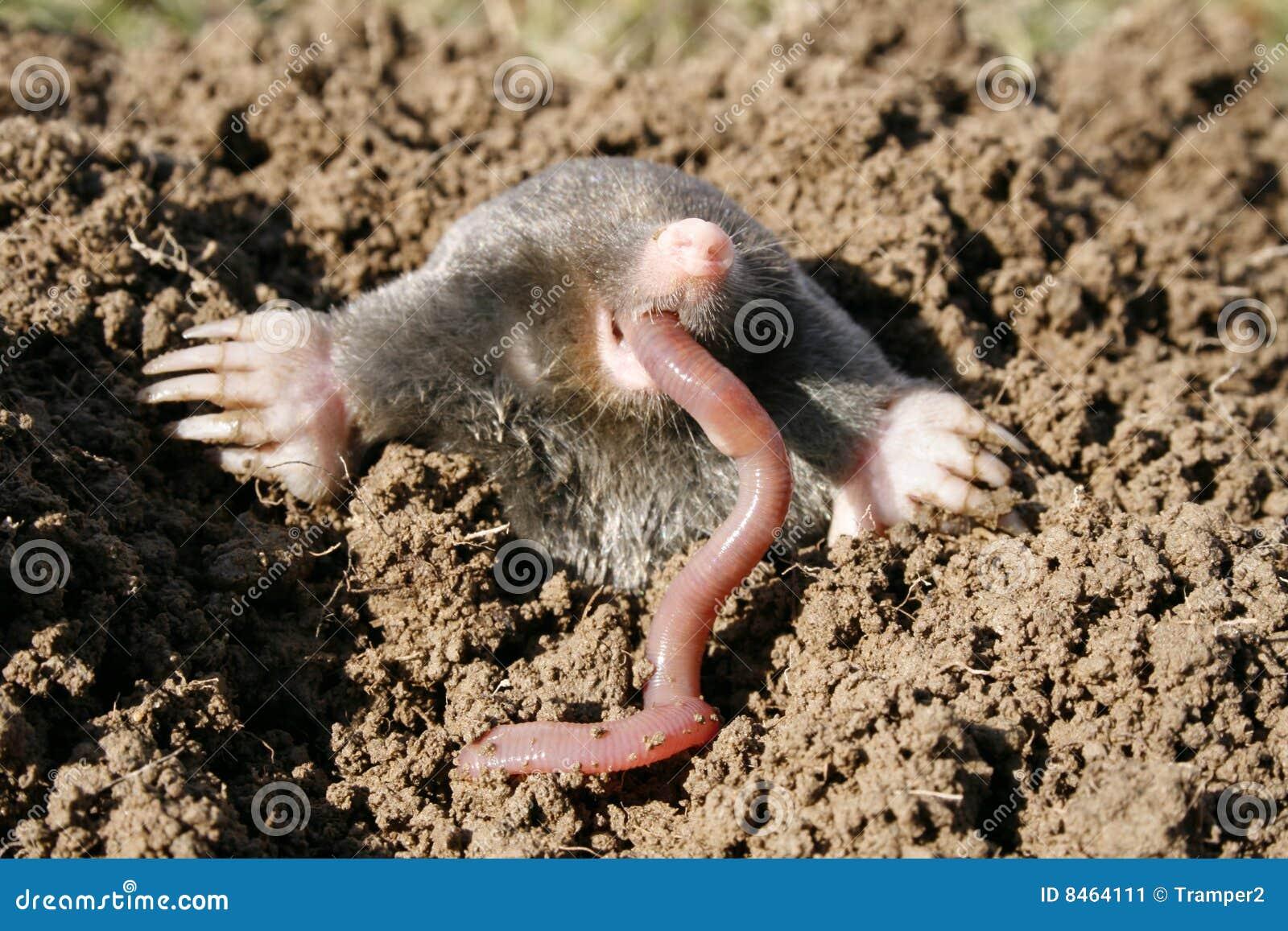 Hungrig mole