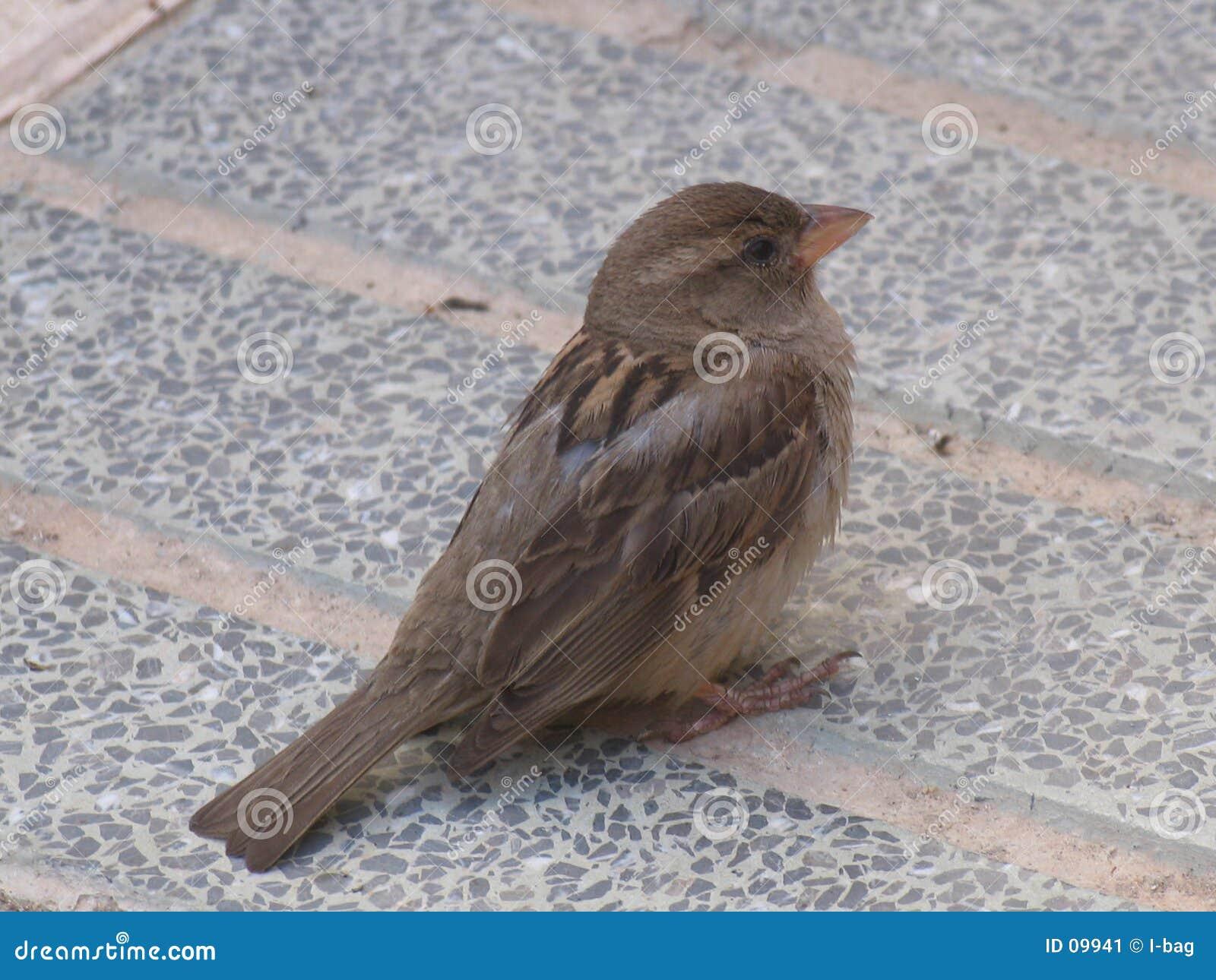 Hungrig sparrow