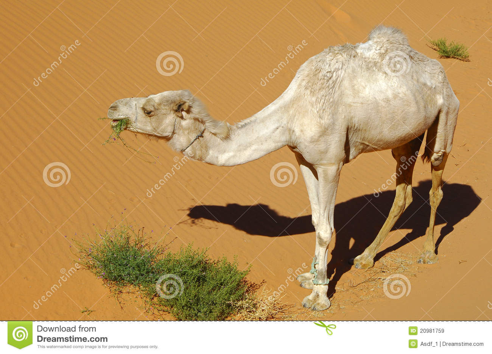 Hungriger Dromedary in der Wüste