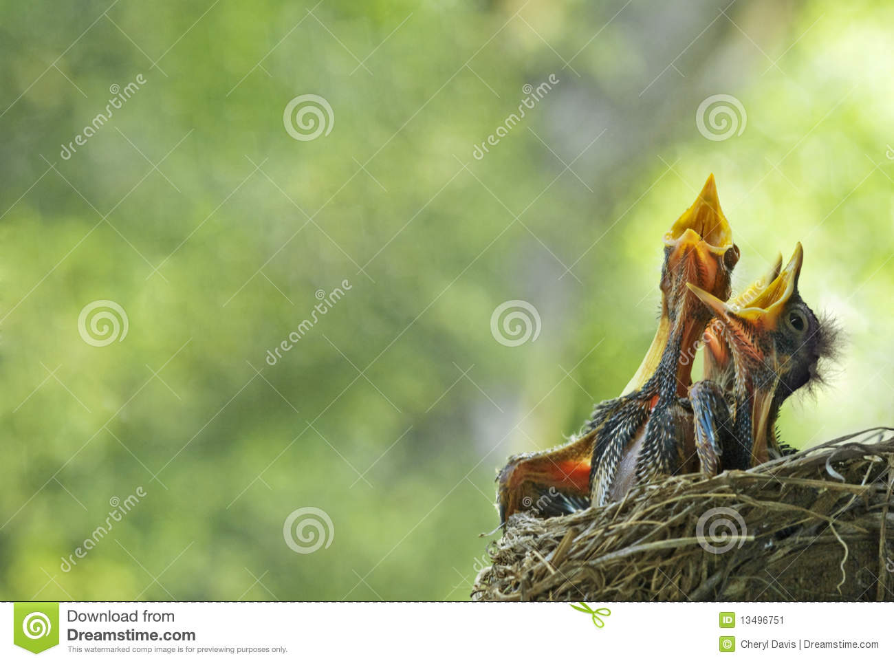 Hungry Baby Robins In Nest
