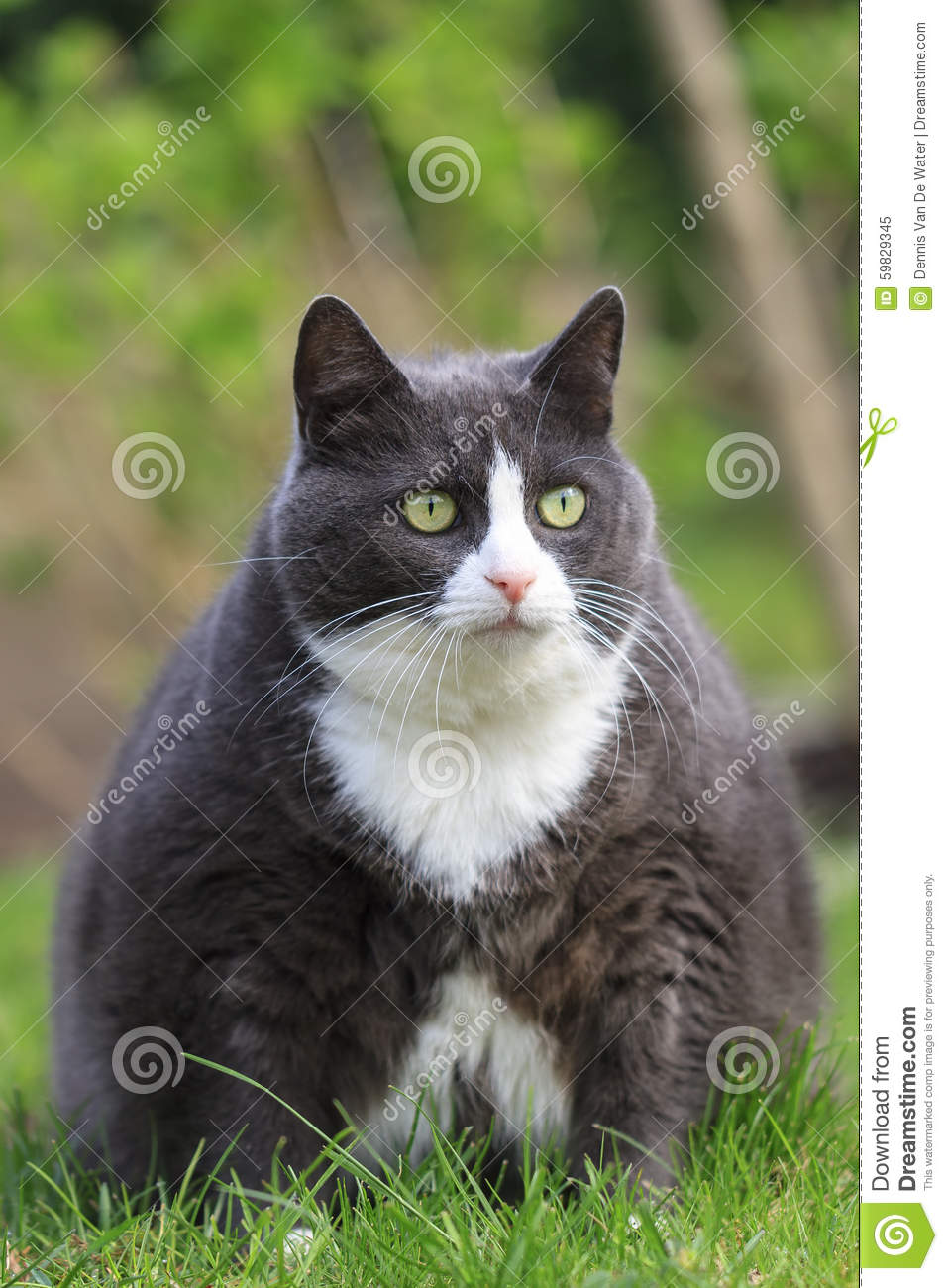 Hungry Fat Cat Stock Photo - Image: 59829345