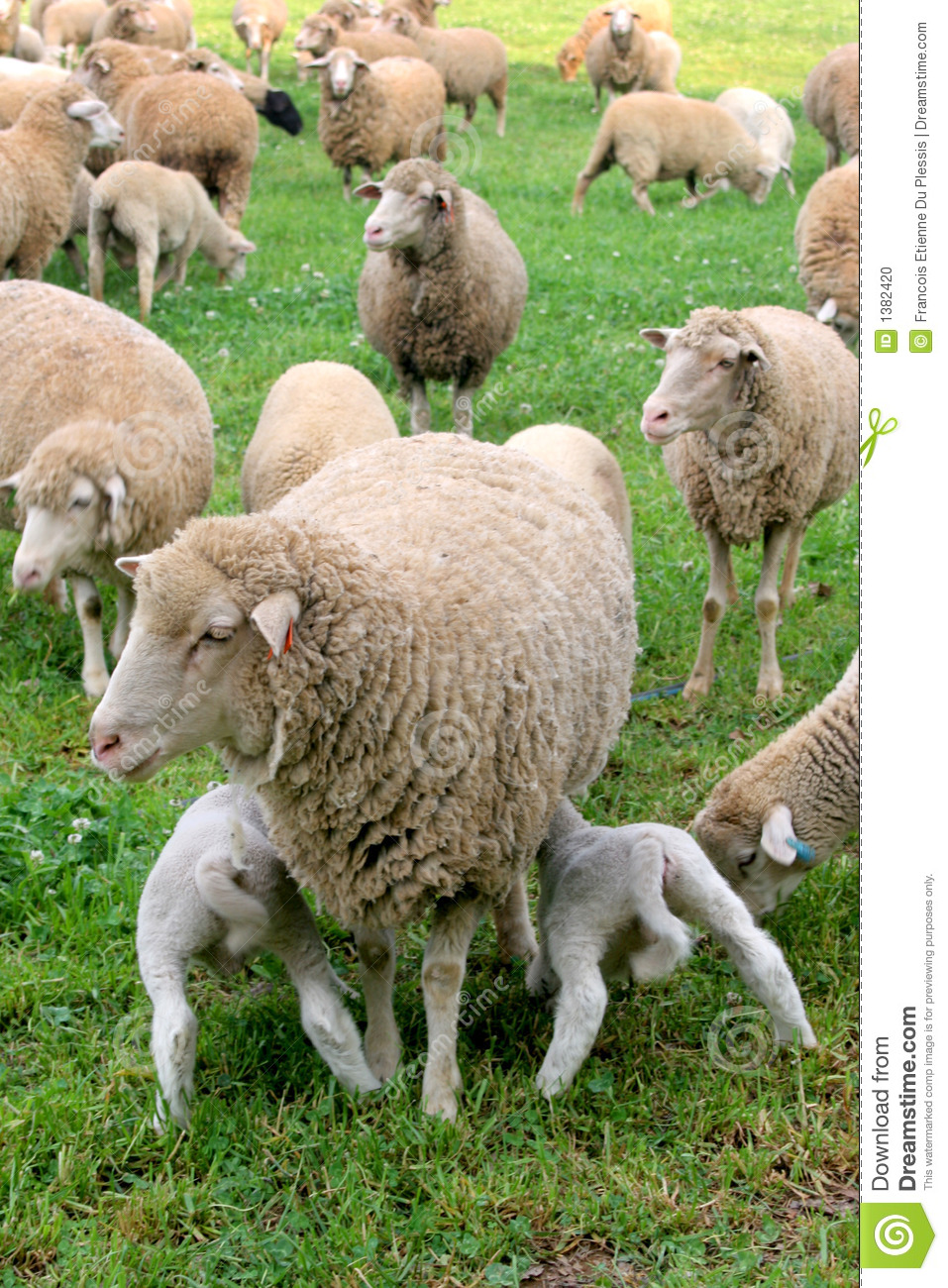 Download Hungry Lambs stock photo. Image of lots, mother, farming - 1382420