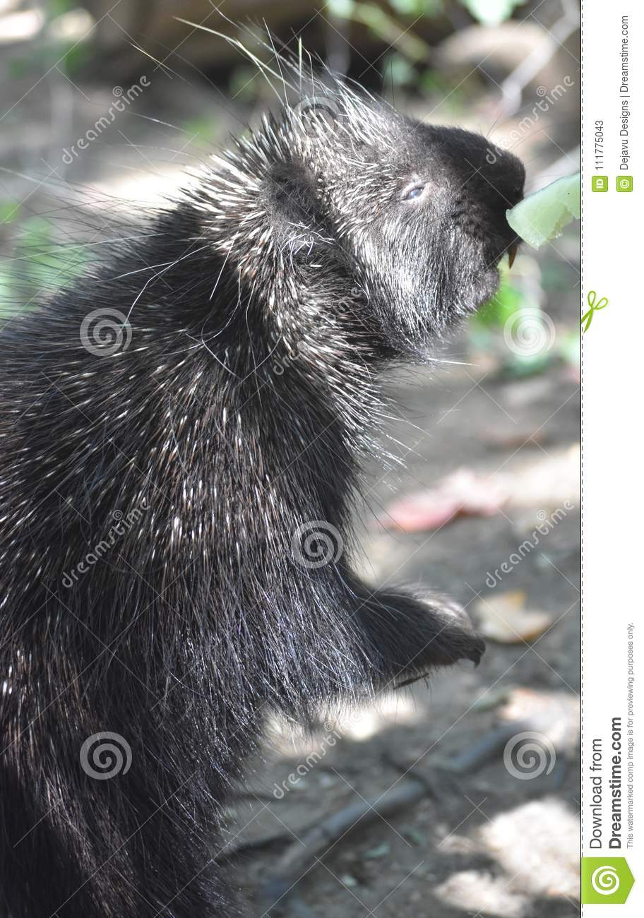 Adorable porcupine reaching for a leaf to eat
