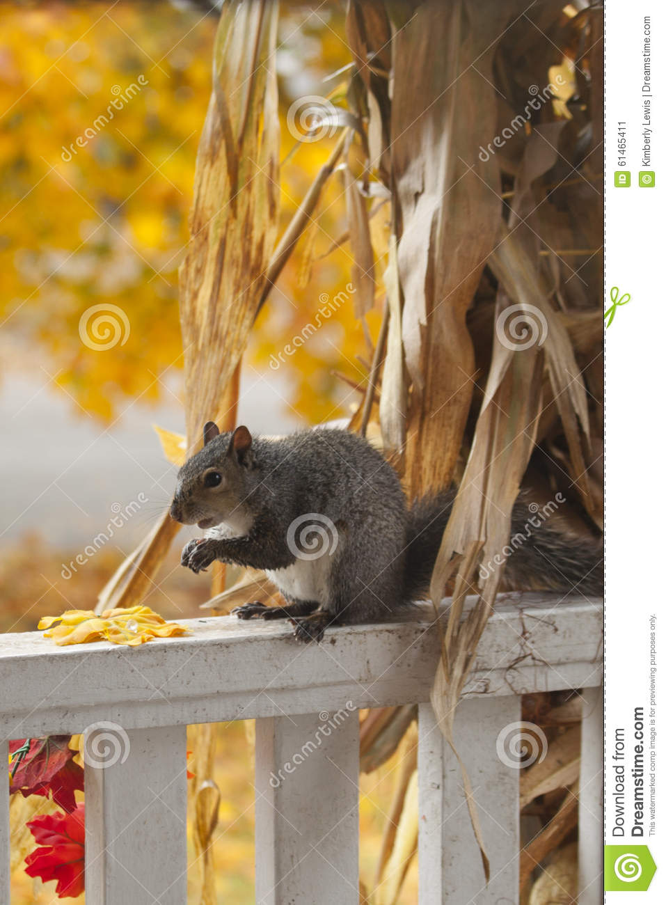 A Hungry Squirrel Eating The Corn From A Decorative Corn Stalk