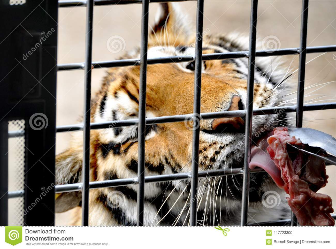 A hungry tiger in Harbin