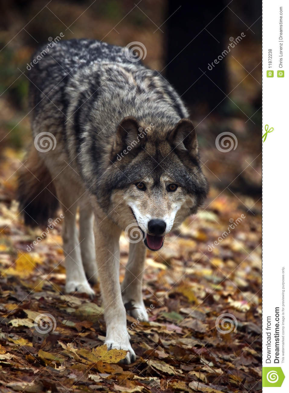 hungry wolf royalty free stock photos