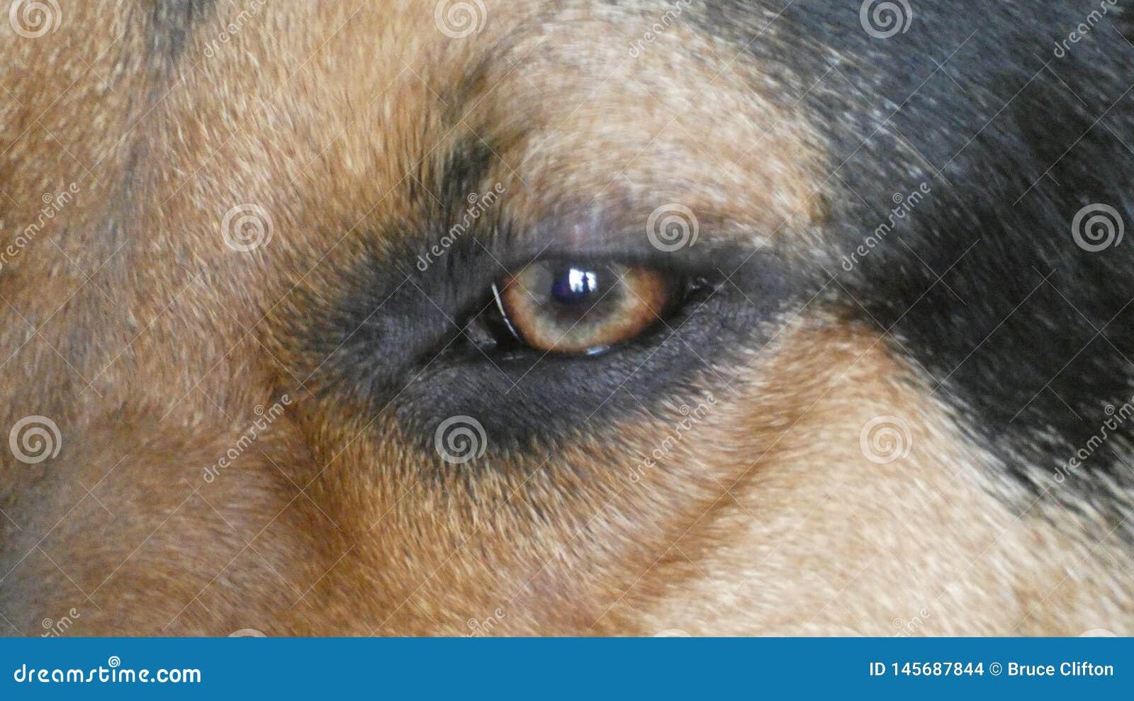 Huntaway-Hund 17