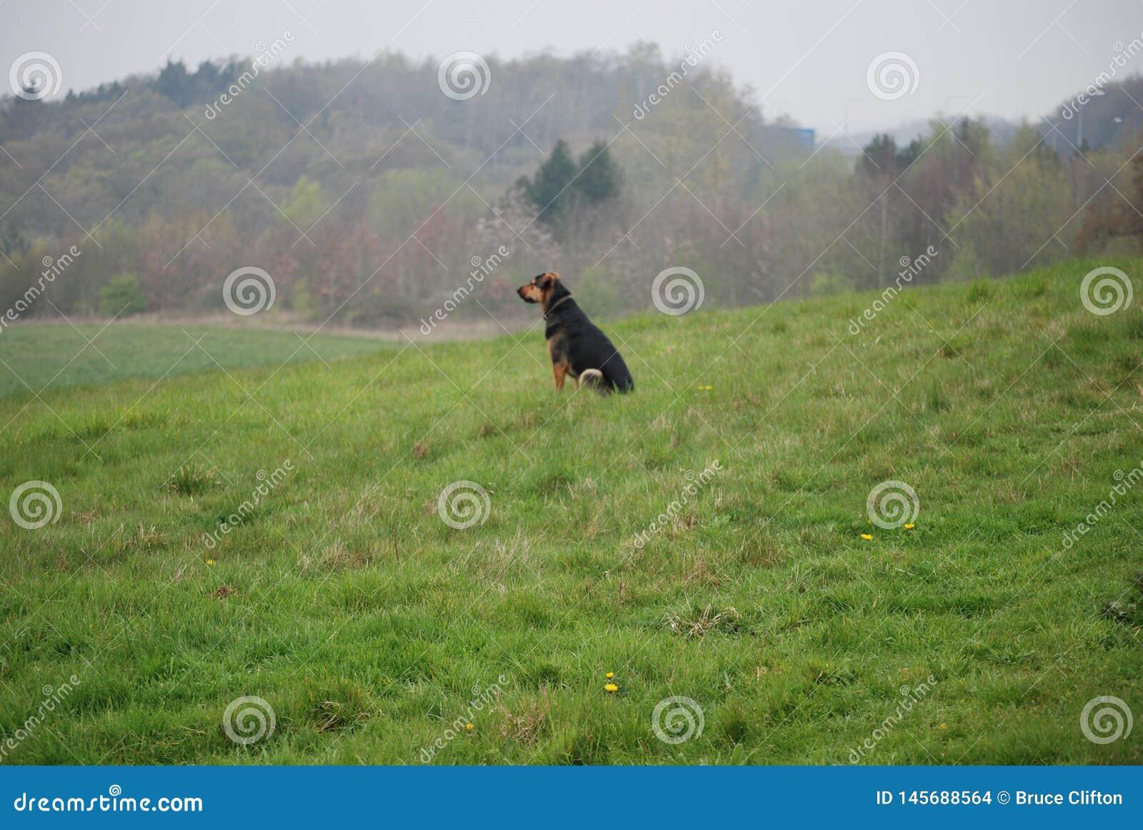 Huntaway pies 5 ma dobrego czas w Angielskiej łące