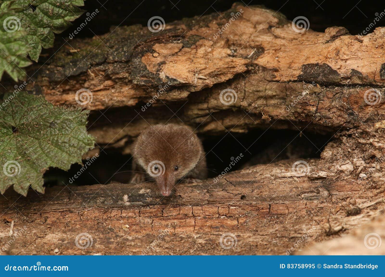 A hunting Common Shrew Sorex araneus.