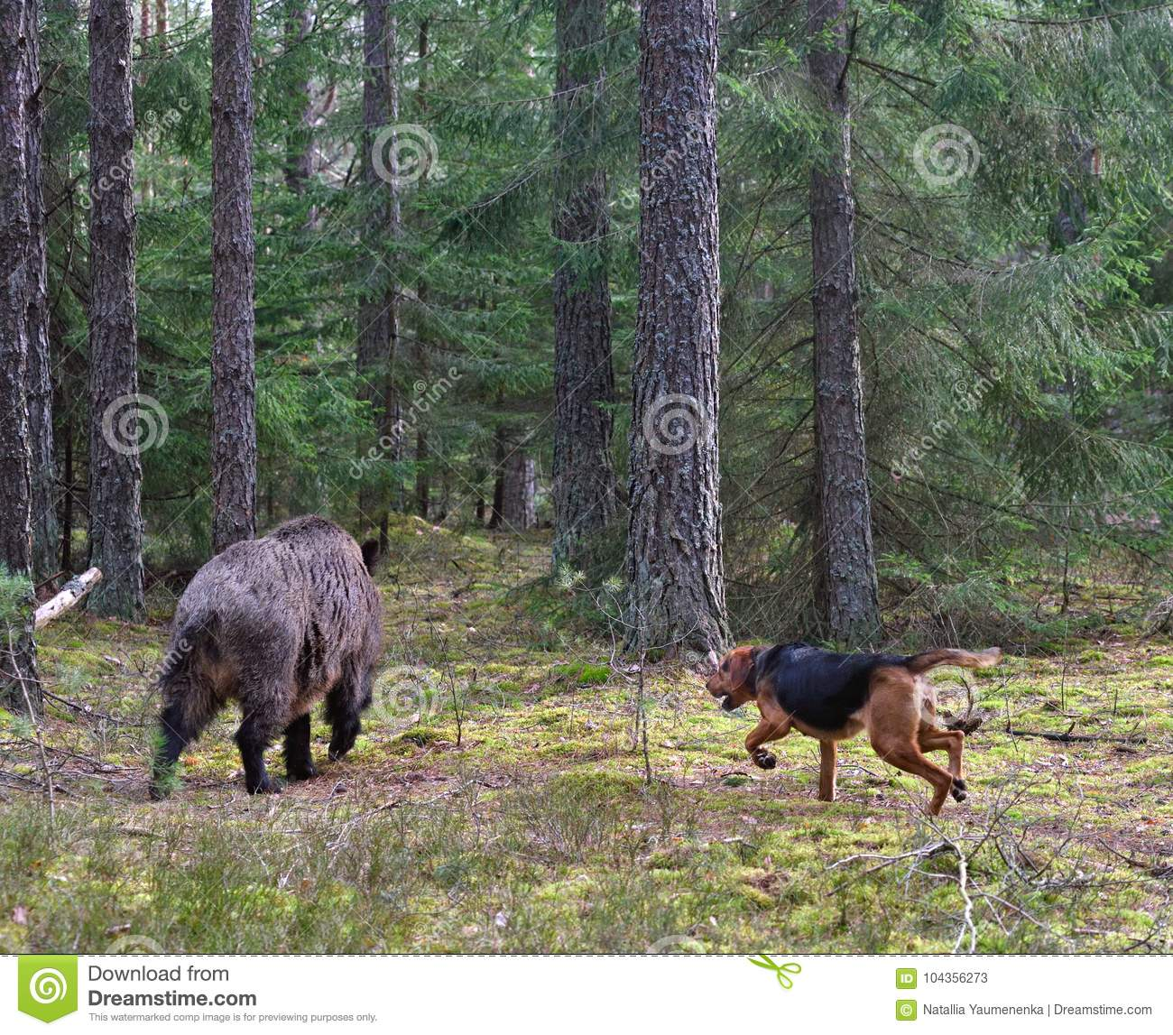 Hunting Dog Attack Wild Boar Stock Image - Image of