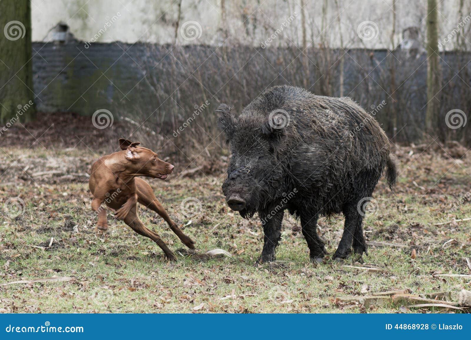 Hunting Dog Chasing Wild Boar Stock Photo - Image of scrofa