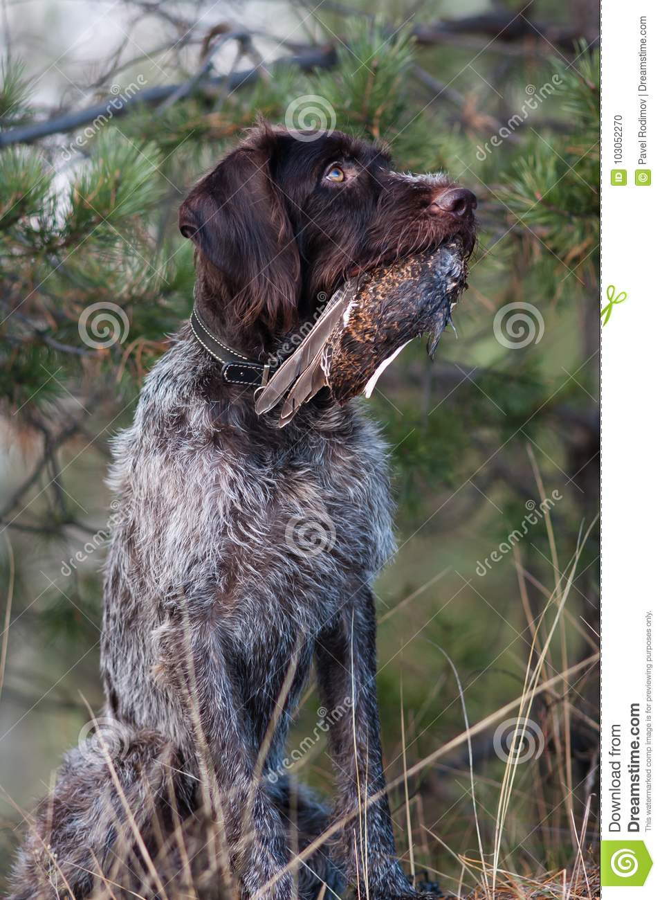 Hunting Dog With Grouse Wing Stock Photo - Image of brown, autumn ...
