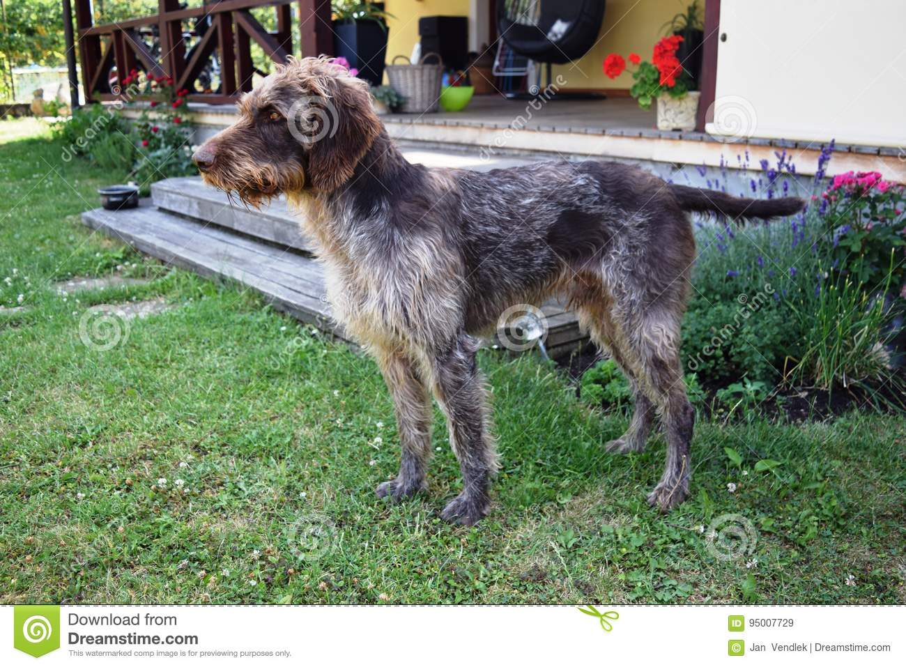 Hunting Dog On Sunny Day, German Wirehaired Pointer . Stock Image ...