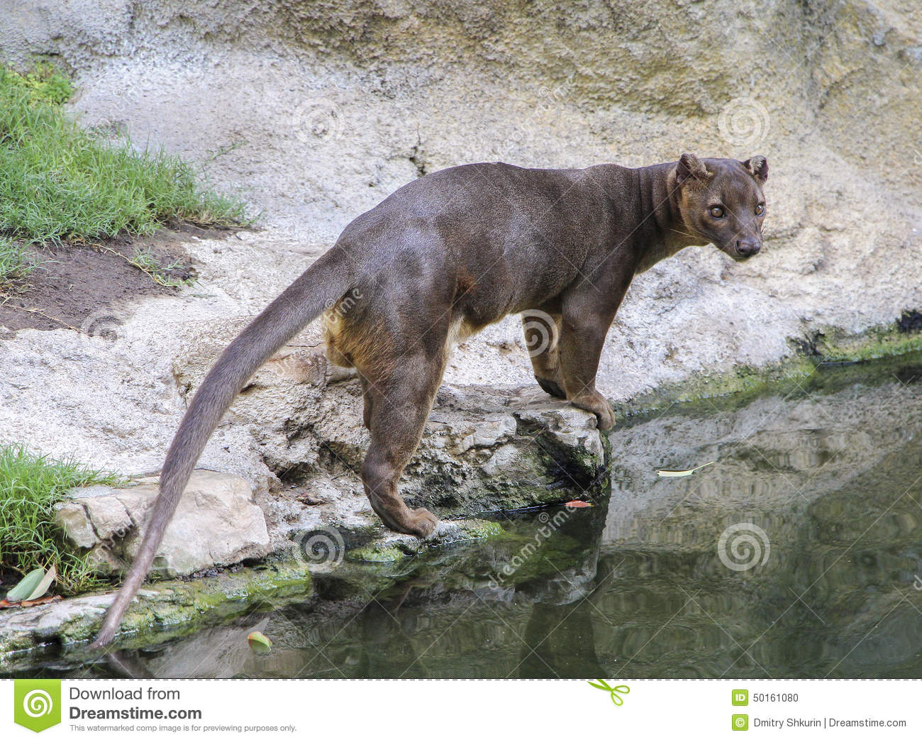 hunting fossa stock photo image of fossa africa carnivora 50161080