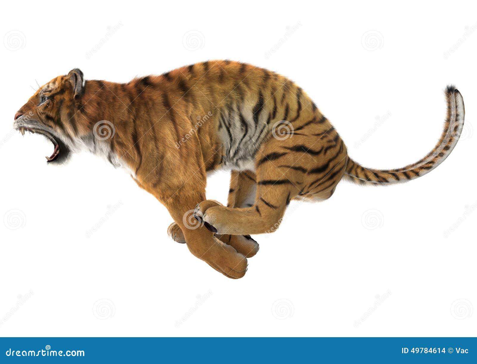 hunting tiger stock illustration illustration of bengal