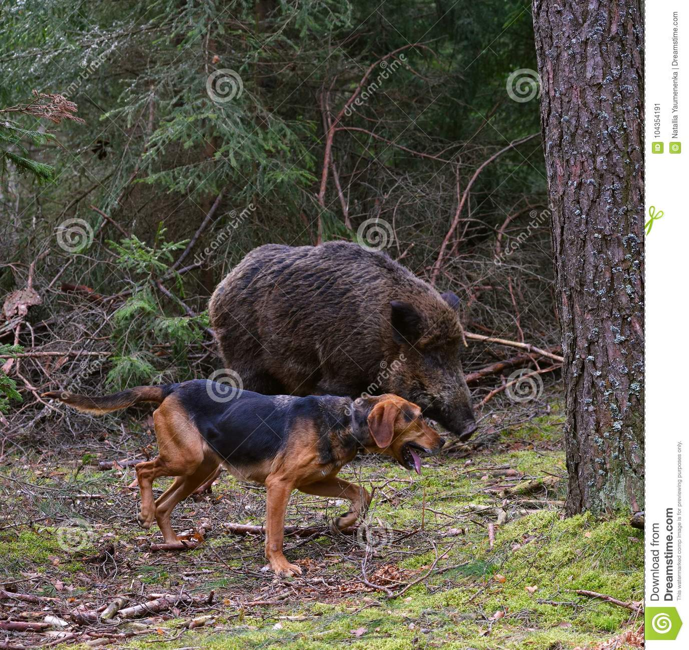Hunting on wildboar stock image  Image of grass, outdoors