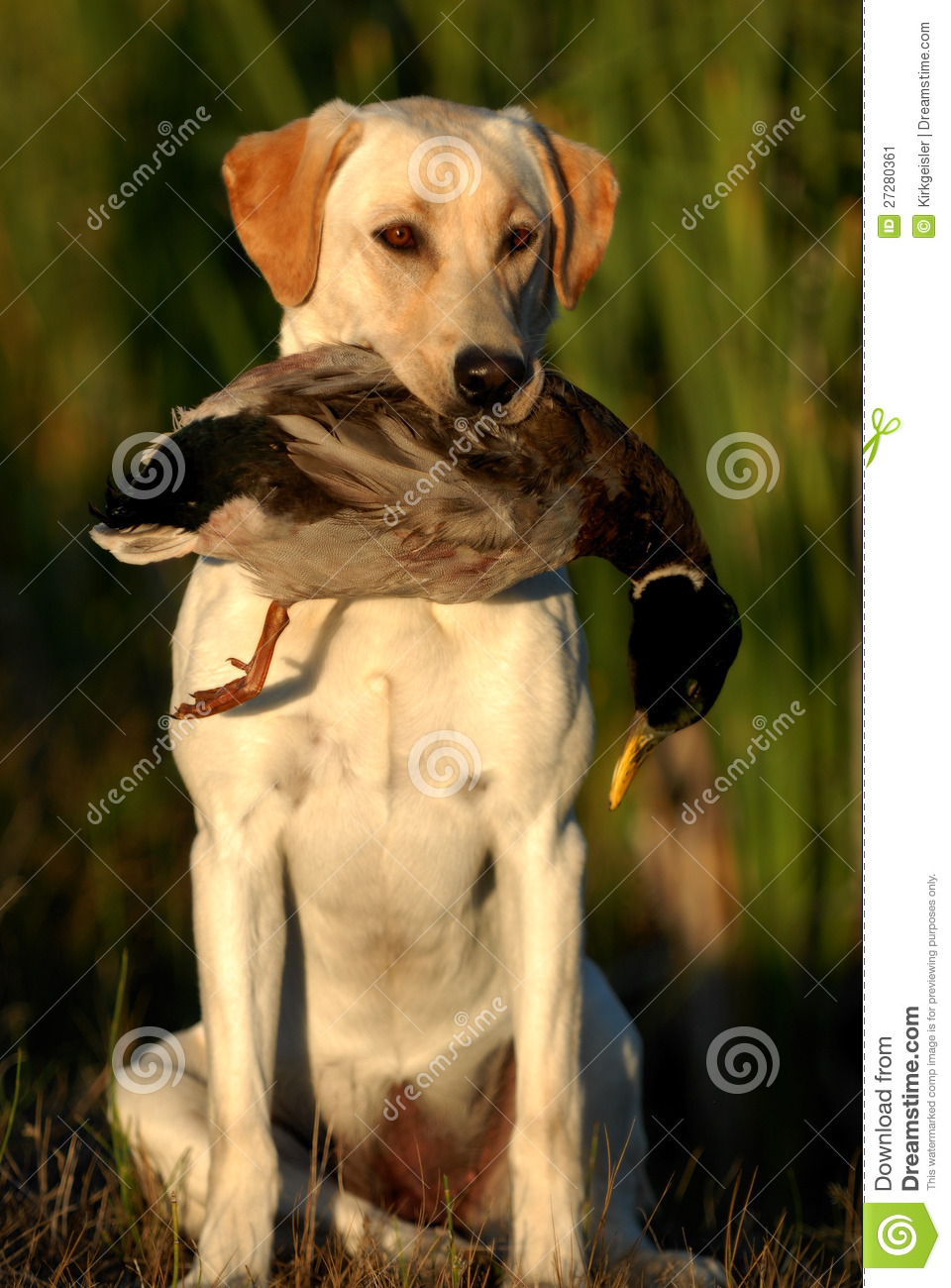 More similar stock images of ` Hunting Yellow labrador `