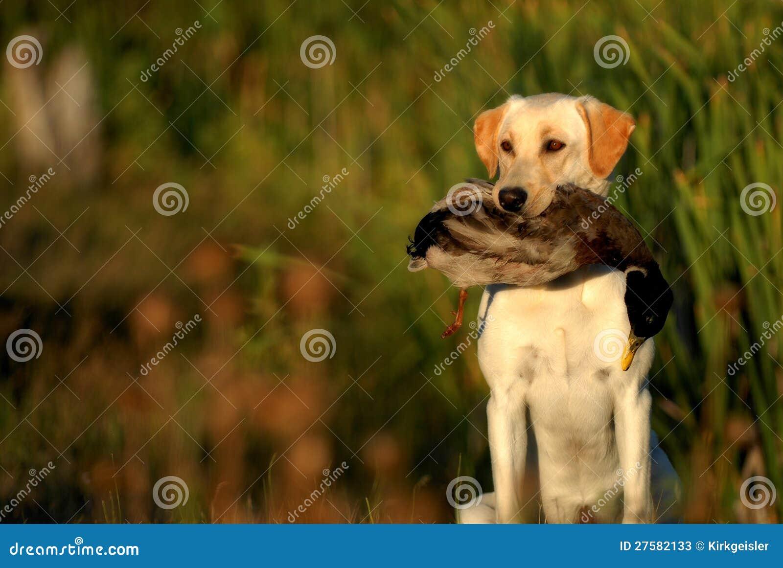 Hunting Yellow Labrador dog