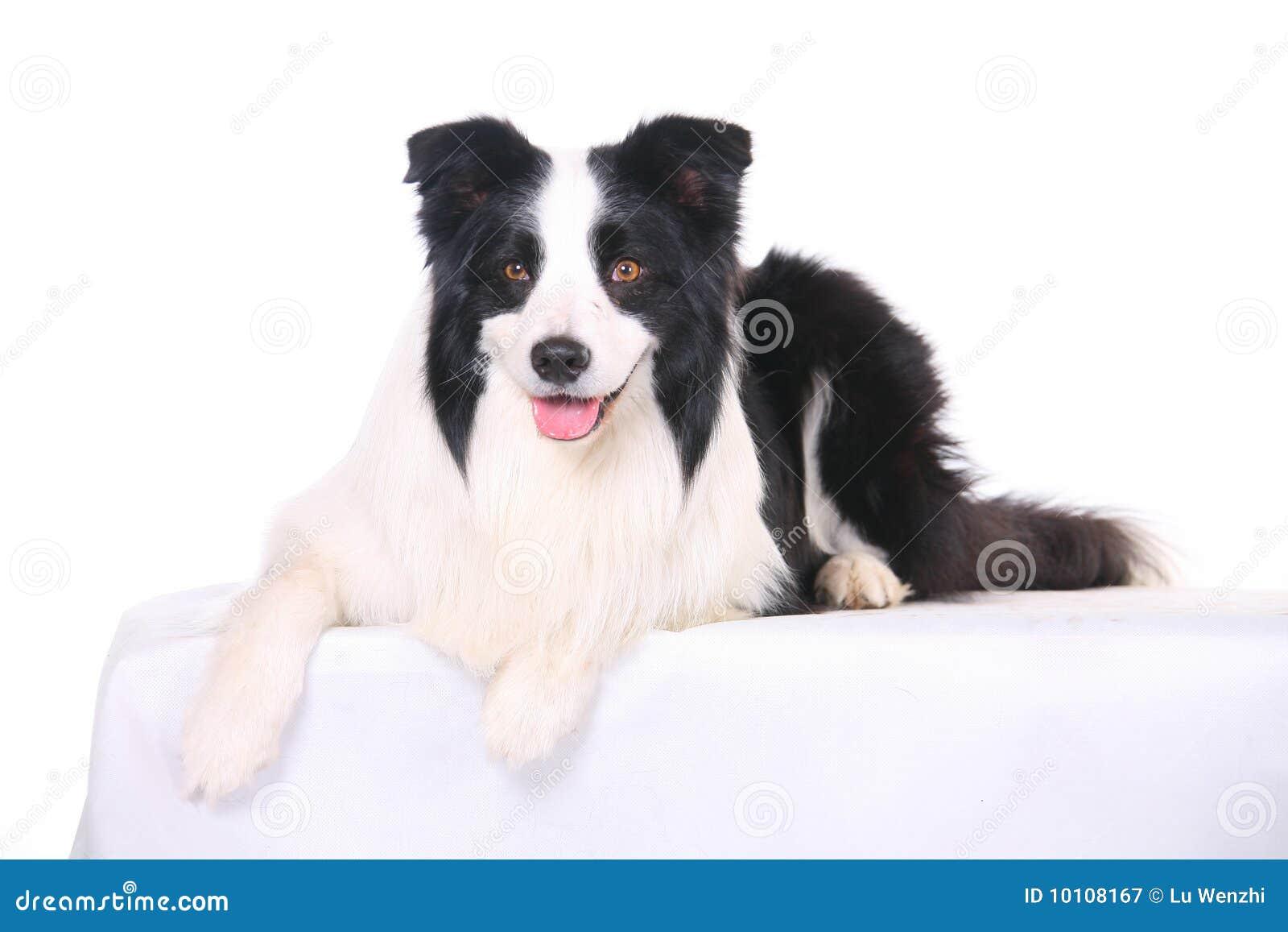 Husdjur för hund för kantcollie