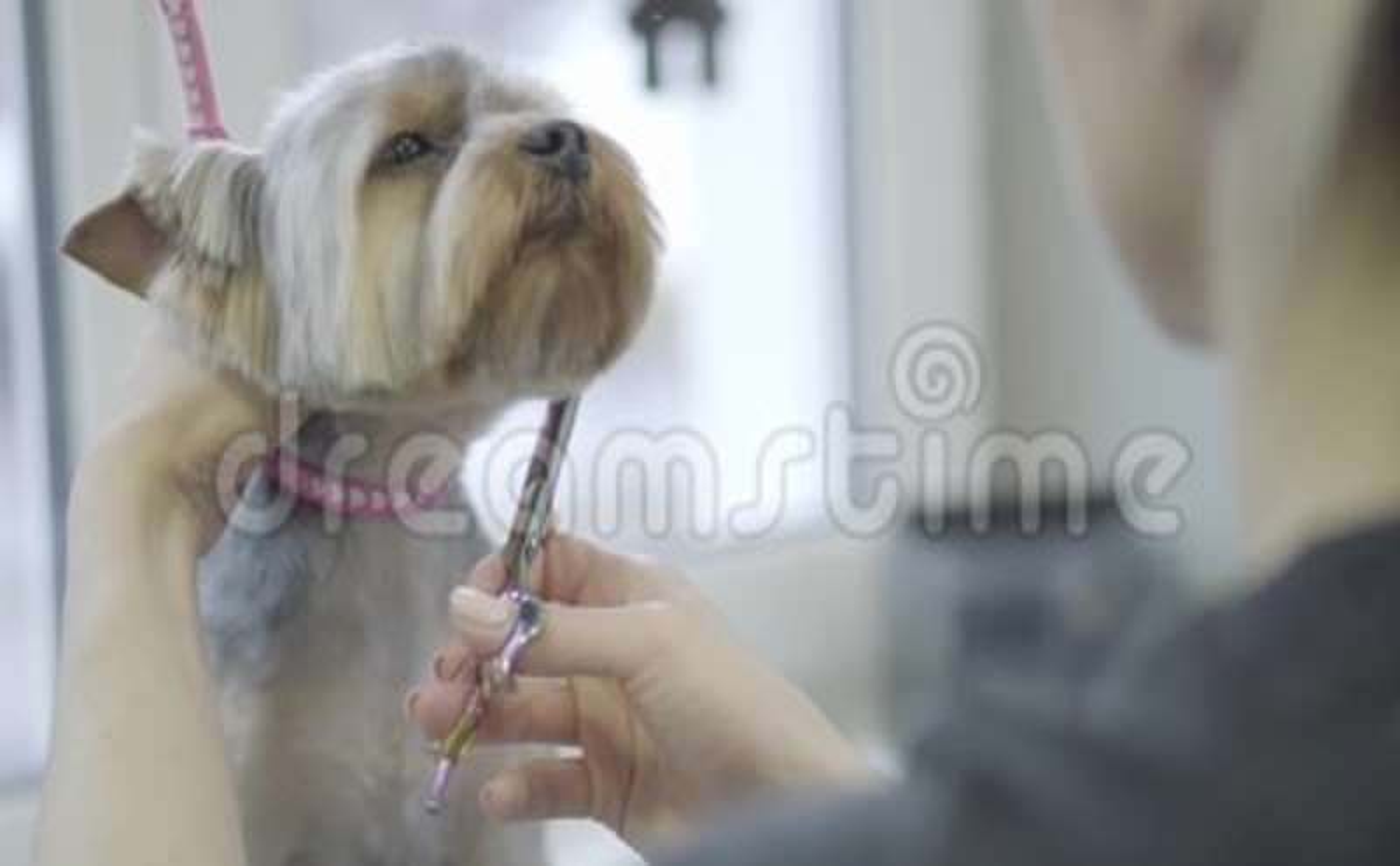 Husdjurgroomeren klipper hår för hunden för den yorkshire terriern med sax, i att ansa salongen Yrkesmässig djur frisyr och utfor lager videofilmer