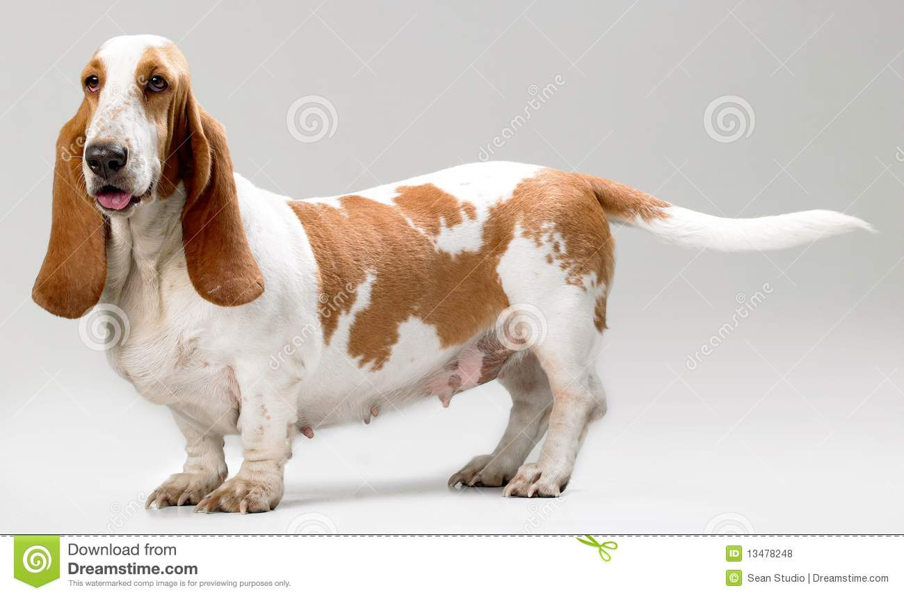 Breed Of Hush Puppies Dog