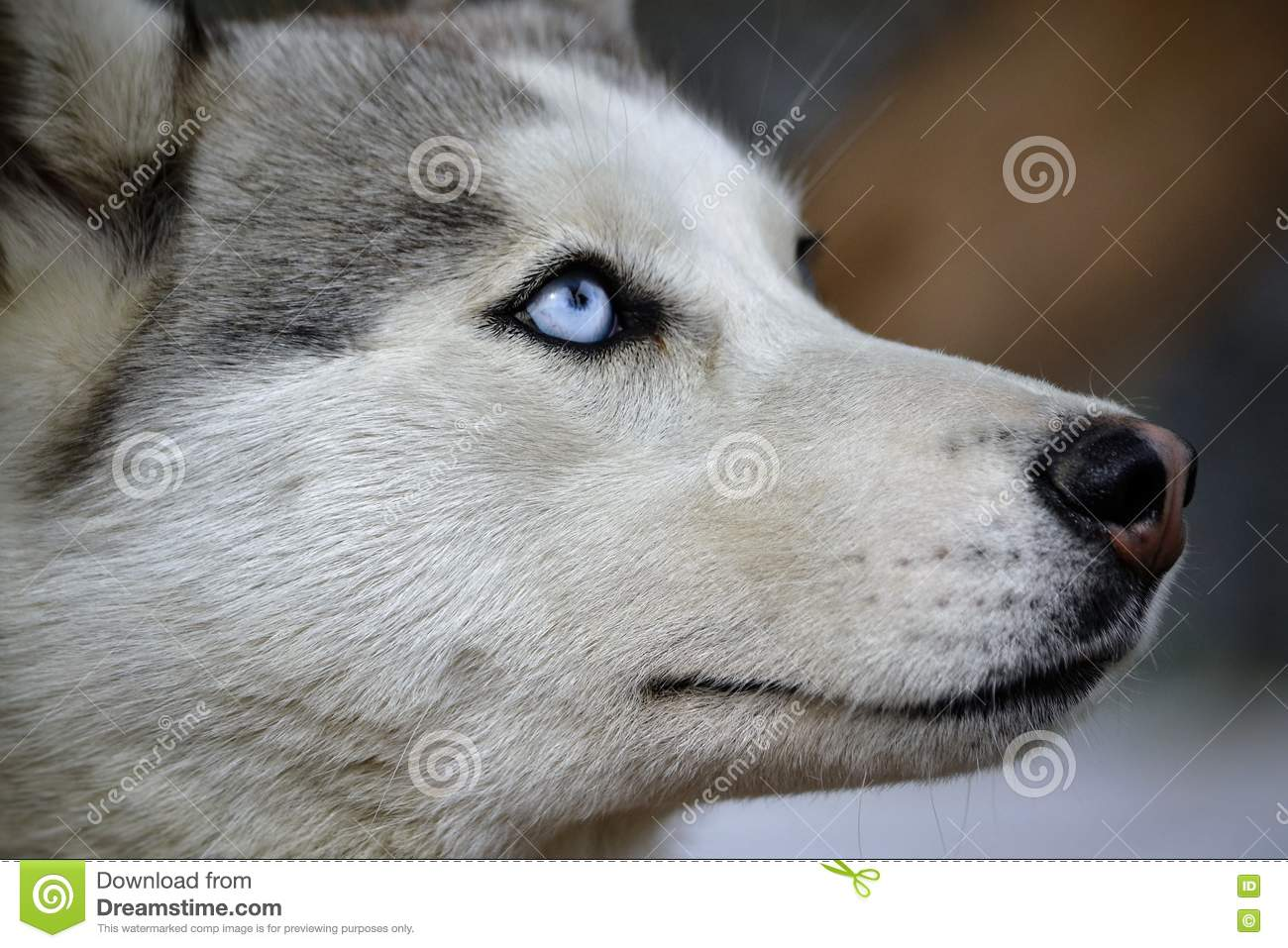 Husk Dog Breed Is The Most Peaceful In The World Stock