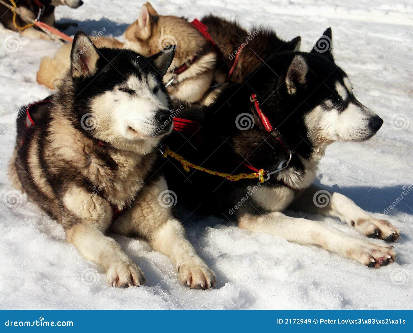 Huskie χιόνι