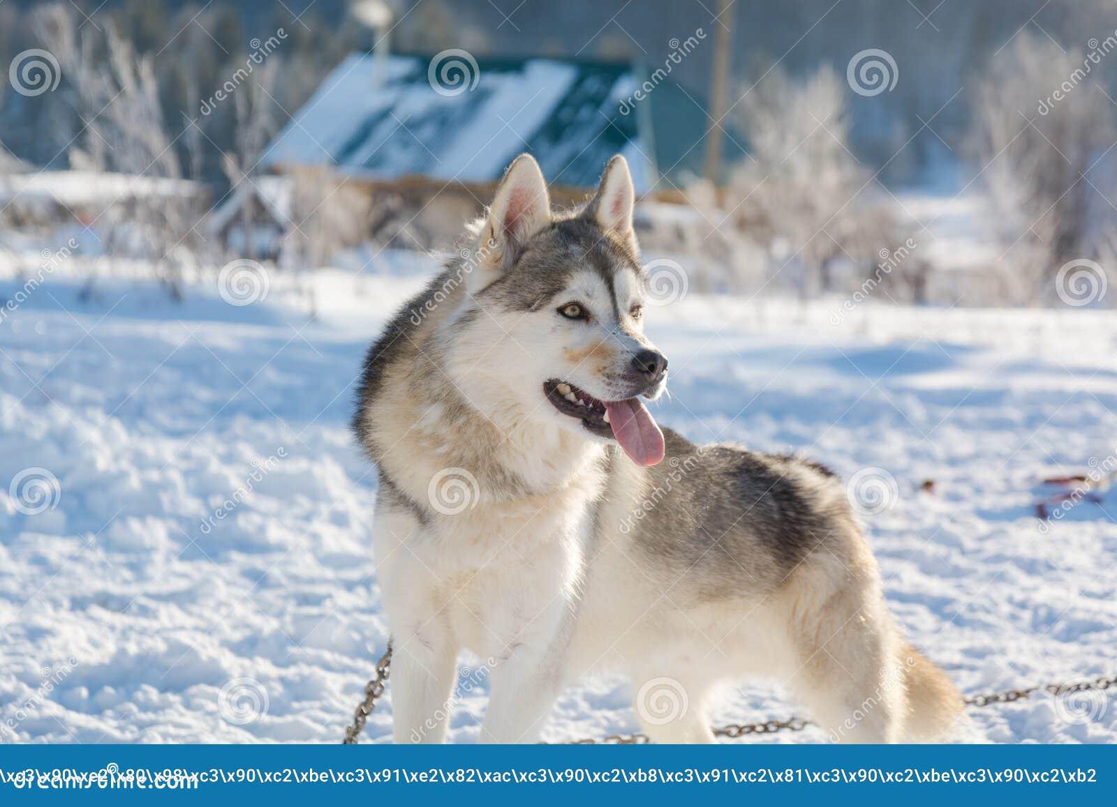 Huskies Haskiya del montar a caballo en el invierno