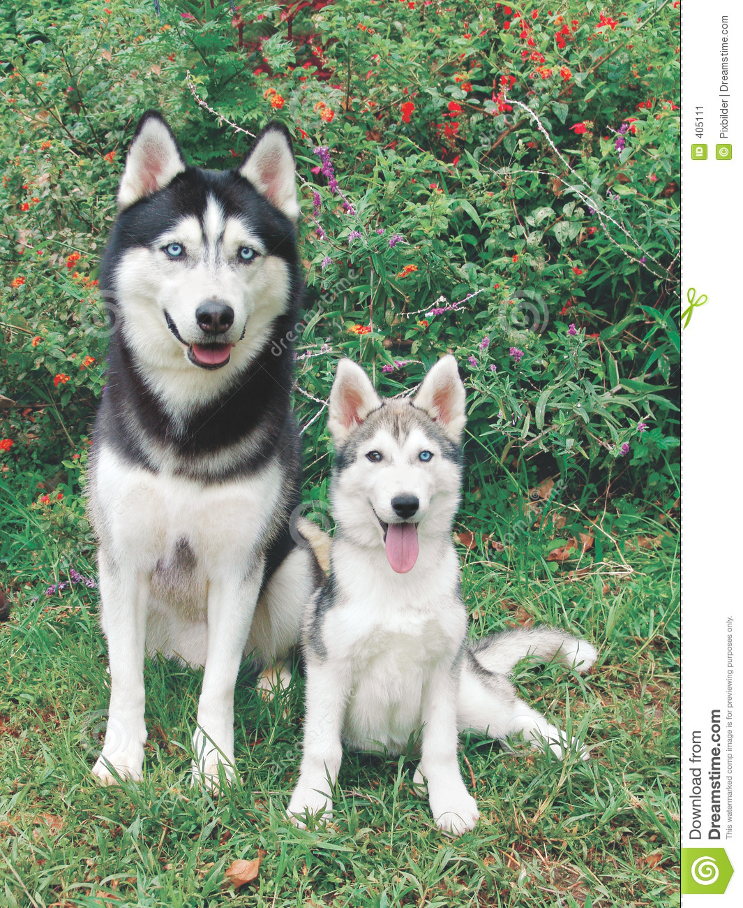 Husky Adult And Puppy Stock Image Image Of Black Siberian 405111