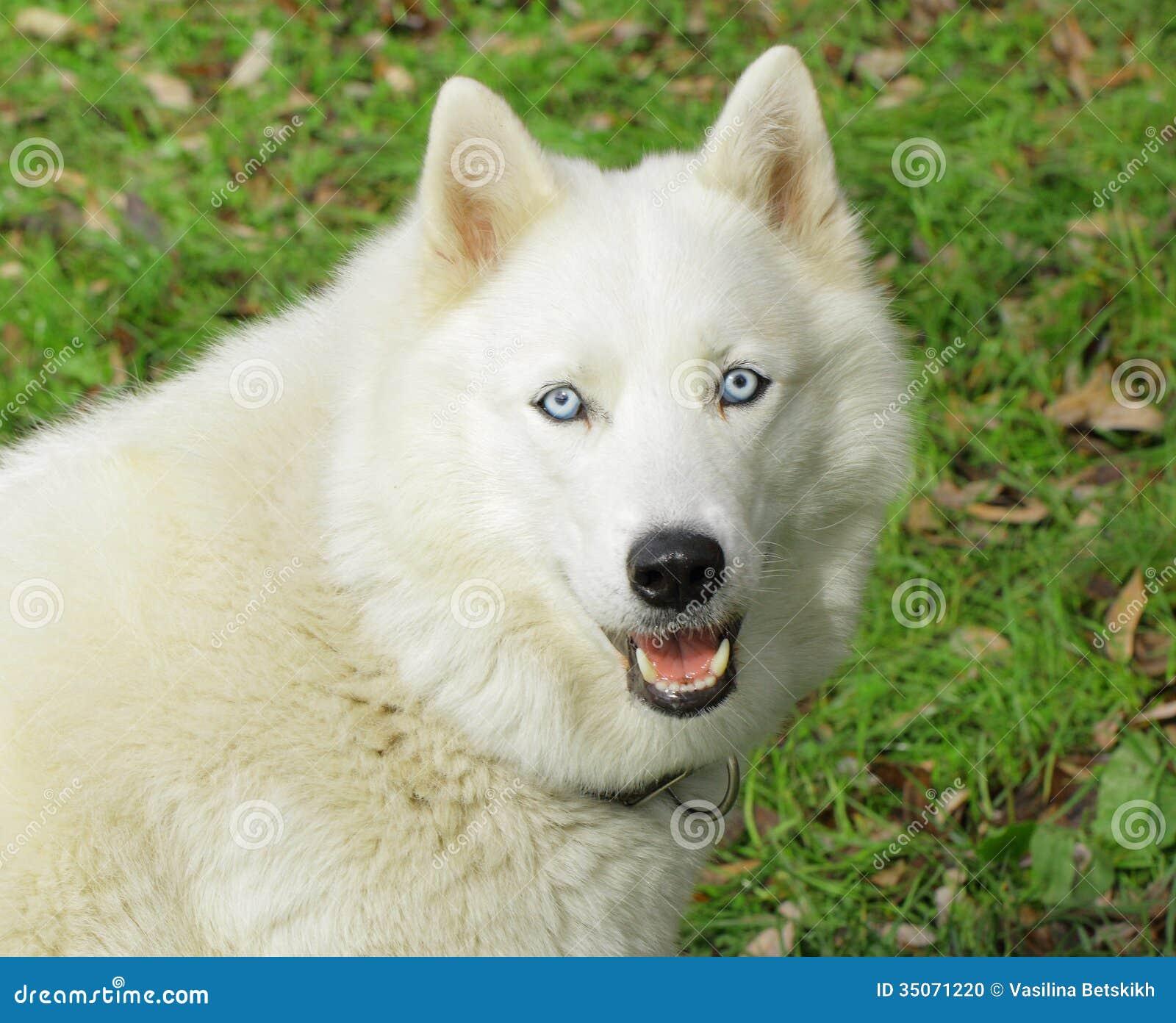 Husky bianco del cane fotografia stock immagine di - Husky con occhi diversi ...