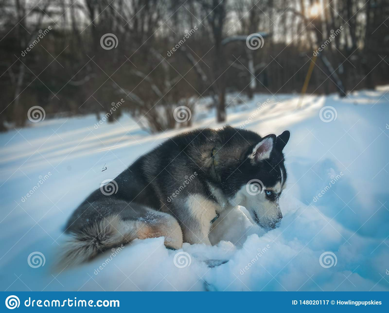 Husky With Blue Eyes In Snow Stock Image Image Of Aesthetic Sunset 148020117