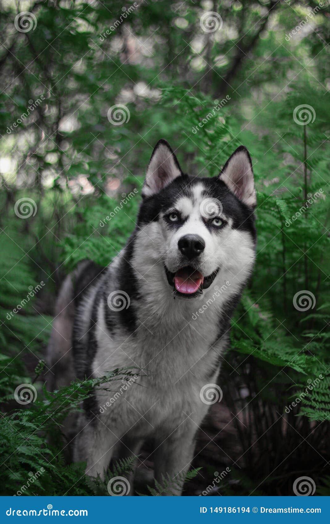Husky di Sebirian nella felce e nella foresta