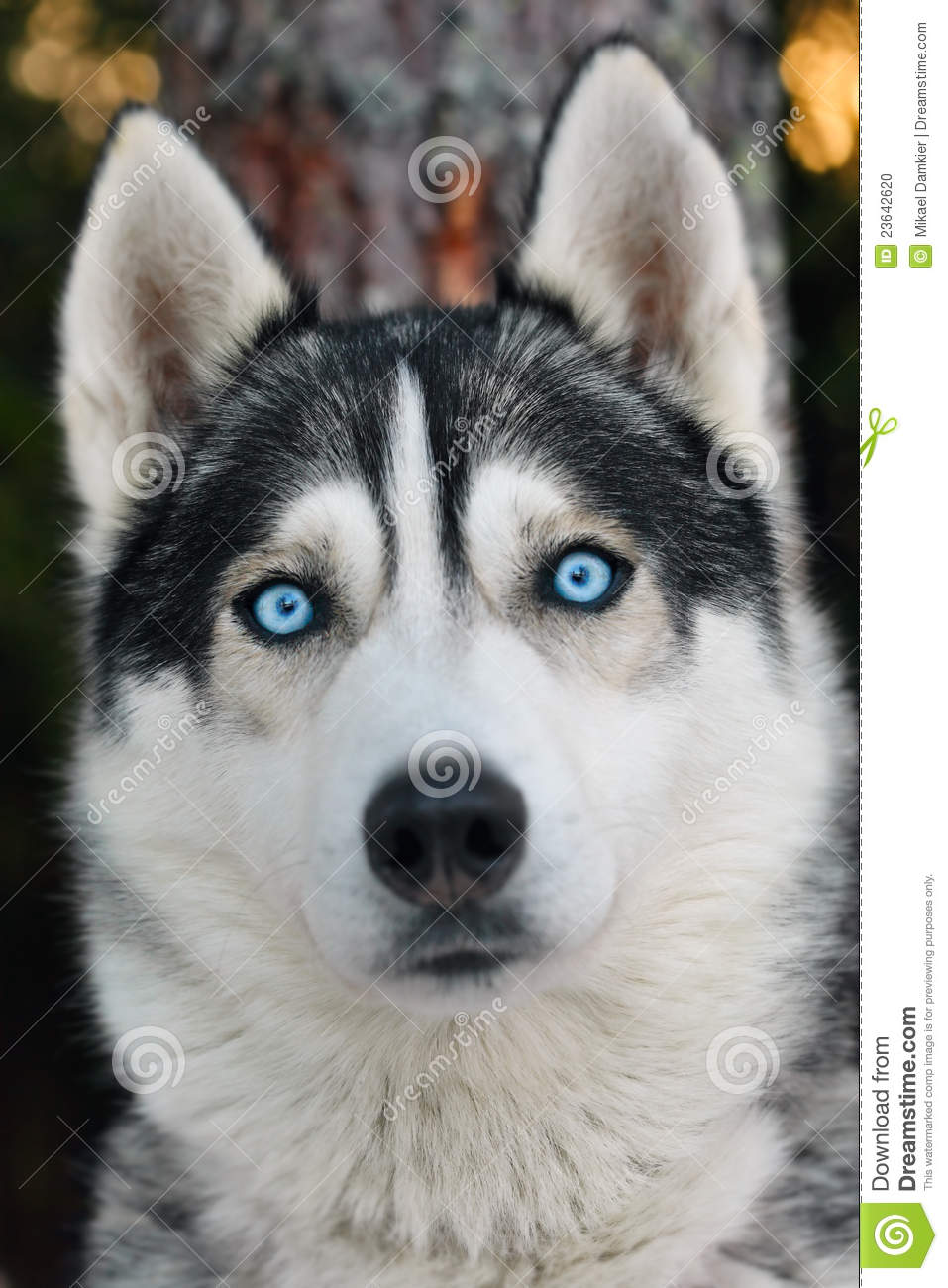 Close up photo of a Husky dog in the forest.