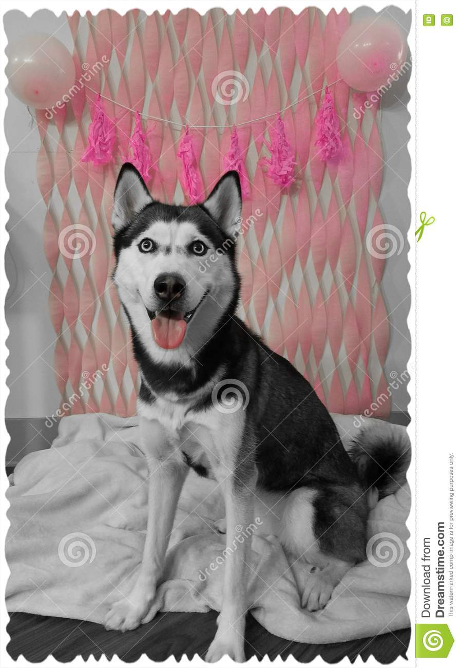 Dog Birthday Decorations Husky Dog With Birthday Decorations Stock Photo Image 80805278