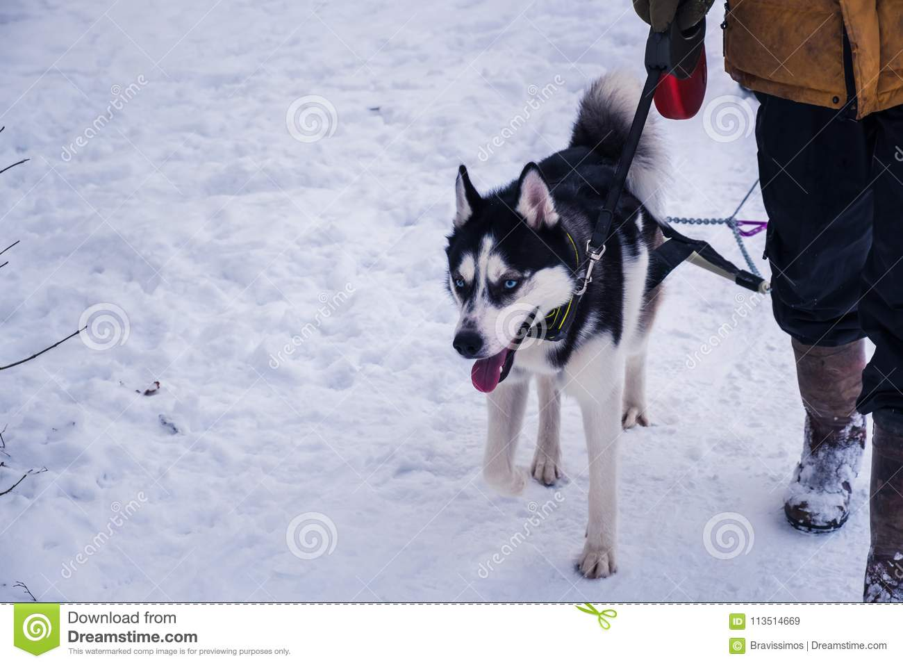 Husky Dog With Blue Eyes Owner With Siberian Husky In Snow Stock