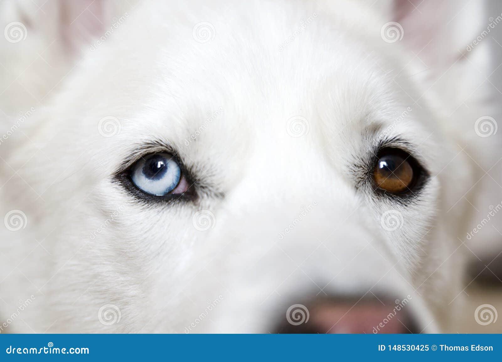 Husky Dog Close Up Bi-osservato