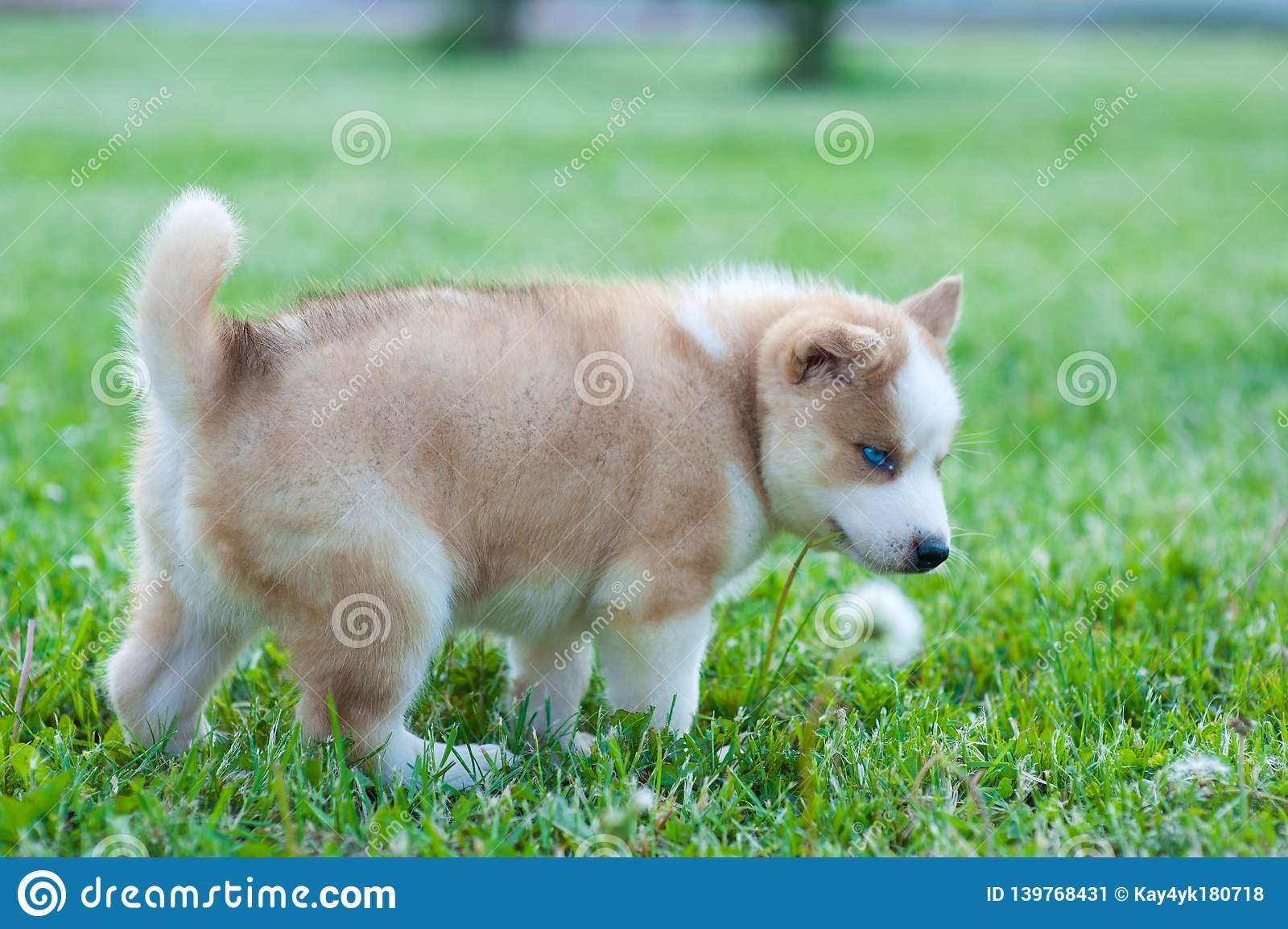 Husky dog grabbed green grass with her mouth