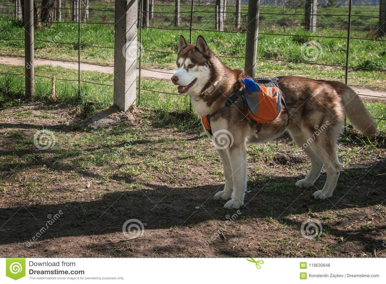 Husky Dog With An Orange Backpack On His Back Stock Photo Image